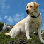 How long do Labradors live, and how can you care for them?