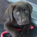 How to take care of a Chocolate Labrador's Coat?
