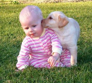 Children are safe with labradors