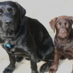 Purebred Lab puppies – Are we helping or hurting the Labrador Retriever breed?