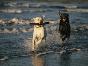 labrador health, labradors and health, training labradors