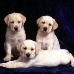 How to Determine the Personality of a Labrador Puppy