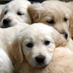 labrador, labradors, active labradors, labrador training