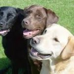 Labs from a local Labrador Rescue