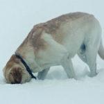 Your Labrador Retriever and Winter Weather