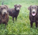 Labrador Fields Forever