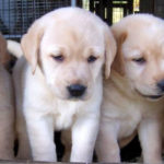 Labrador Training: Patience and Consistency Rule The Day