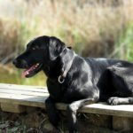 Labrador Retrievers: Beginner's Guide