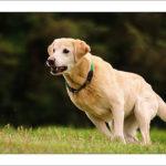 Understanding Labrador Barking