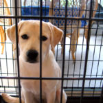 Should You Crate Train Your Labrador?