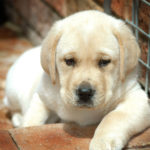 labrador health, labradors and health, training labradors