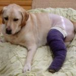 What To Do If Your Labrador Gets Injured