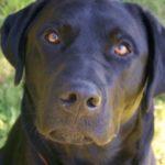 What to Expect When You Rescue a Labrador Retriever