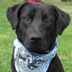 Abandonment Issues in Rescue Labradors