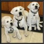 labradors and children, labrador training, labradors