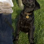 Puppy Training: The Labrador Way