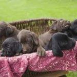 Rescue Labradors