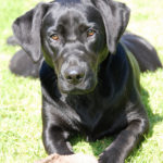 What You Need to Know About the Black Labrador Retriever