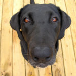 Reasons to Use a Labrador Retriever Rescue to Find a Pet