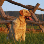 A Brief History of Labrador Dogs