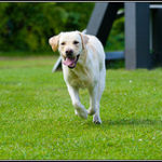 Training Labrador Retrievers with Positive Reinforcement