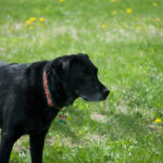 Care Responsibilities for a Black Labrador