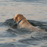 Jobs a Labrador Retriever Can Do
