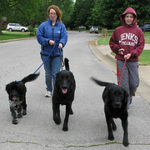 Labrador Retriever Dogs Make Great Companion Pets
