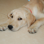 Labrador retriever puppies are more likely to experience separation anxiety.