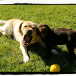 Labrador retrievers can become best friends under the right circumstances.