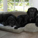 Labrador retrievers of opposite sex have a greater chance of getting along.