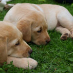 Grooming Tips for Labrador Retriever Puppies