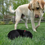 Black Labs and Yellow Labs have many different characteristics.