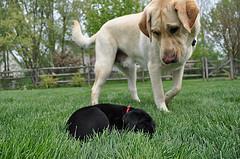 Purebred black lab versus purebred yellow lab labrador retriever