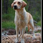 Learn the difference between the American an English Lab to choose the right dog for you.