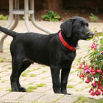 Start training your Labrador puppy as early as possible for the best results.