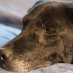 An older Labrador retriever is likely to suffer from arthritis.