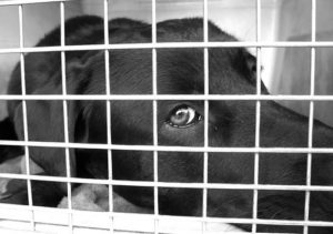 Crate training gives your Labrador retriever a safe place to go.