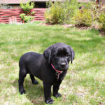 Keep your Labrador retriever safe with proper lawn care.
