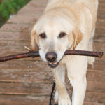 Know the signs of problems with your Labrador retriever health.
