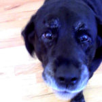 Mental stimulation is an important element in maintaining senior Labrador retriever health.