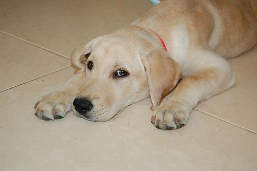 Labrador retriever red ears