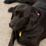 Helping your dog lose weight is essential to helping his Labrador retriever health.