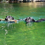 With Labrador puppy training, your dog can become a solid swimmer.